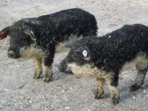 Wollschwein, Schwalbenbauchferkel (Tier-Natur-Erlebnispark Mundenhof)