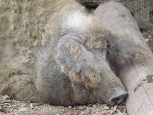 Wollschwein (Zoo Salzburg)