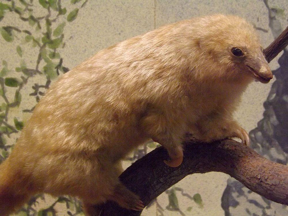 Zwergameisenbär (Naturhistorisches Museum Wien)