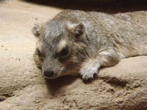 Buschschliefer (Zoo Plzen)