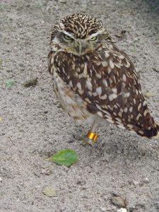 Kanincheneule (Vogelpark Niendorf)