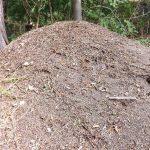 Nest der Kahlrückigen Waldameise (Alternativer Bärenpark Worbis)