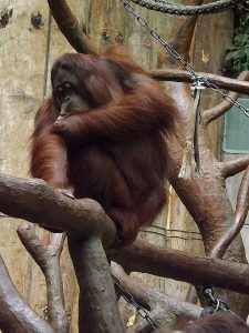 Borneo-Orang-Utan (Zoo Krefeld)