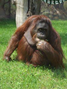 Borneo-Orang-Utan (Zoo Dvur Kralove)