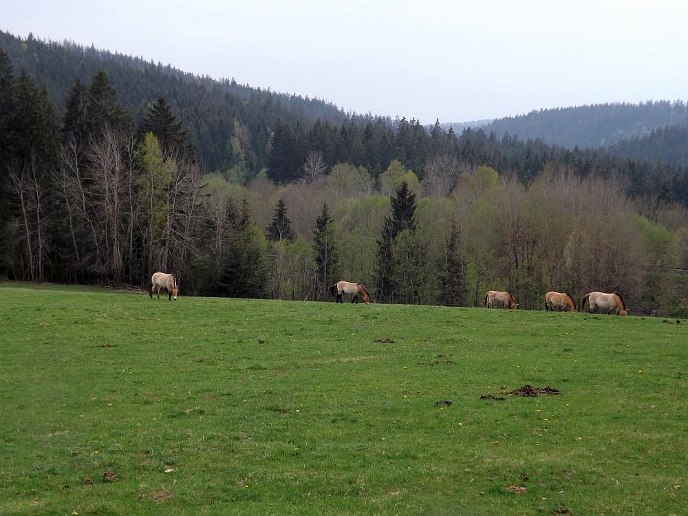 Przewalskiperde (Nationalparkzentrums Falkenstein)