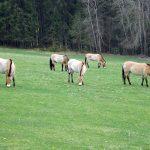 Przewalskipferd (Nationalparkzentrum Falkenstein)