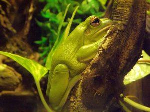 Riesenlaubfrosch (Zoo Antwerpen)