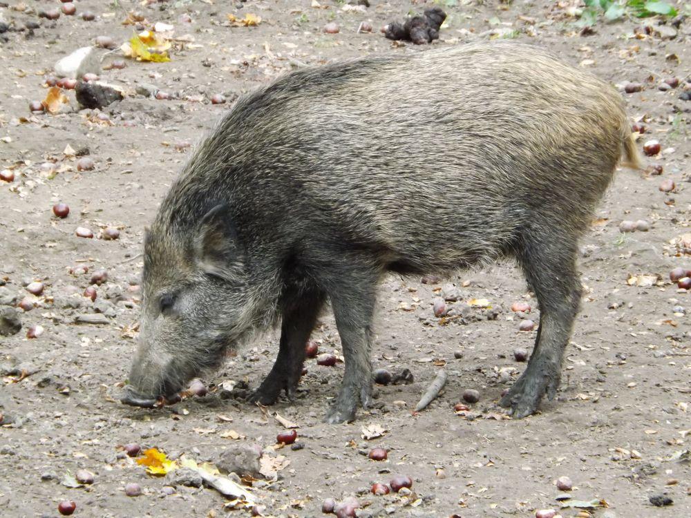 Wildschwein (Wildpark Connewitz)