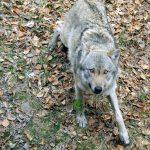 Wolf (Nationalparkzentrum Falkenstein)