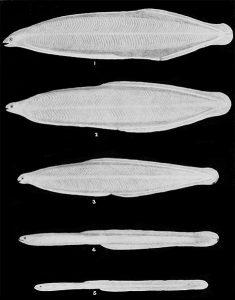 Metamorphose der Aallarve vom Leptocephalus-Stadium zum Glasaal